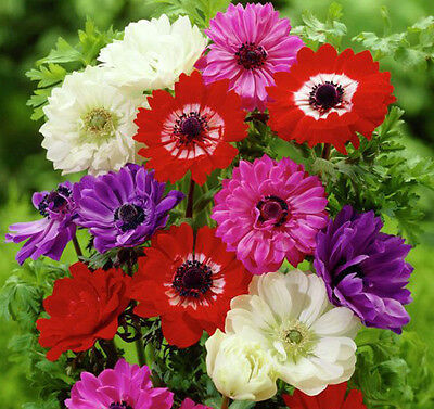 ANEMONE St BRIGID MIXED 25/50 BULBS SPRING & SUMMER FLOWERS READY TO DISPATCH
