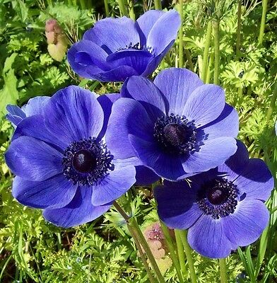 Anemone De Caen Mr Fokker 20 Bulbs Spring & Summer Flowering Ready To Dispatch