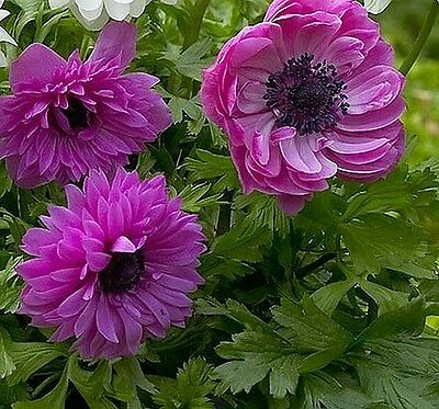 Anemone St Brigid The Admiral 25 Bulbs Spring & Summer Flowers Ready To Dispatch
