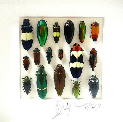 Taxidermy - entomology - Framed insects : Shadow box with real insects
