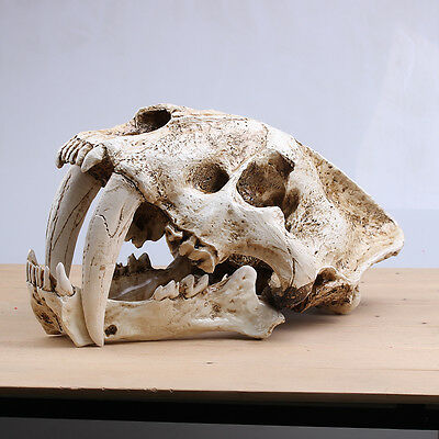New Saber Tooth Cat Tiger Skull Sabertooth Smilodon Fatalis Model Grey White