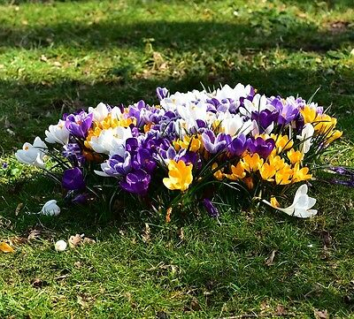 Crocus Mixed 20 Bulbs Spring Flowering Ready To Dispatch Free P&p