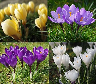 Crocus Paired Combos 20 Bulbs Spring Flowers Ready To Dispatch Free P&p