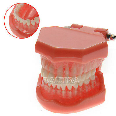 Dental ADULT TYPODONT Removable Demonstration Teaching Teeth Model 7005