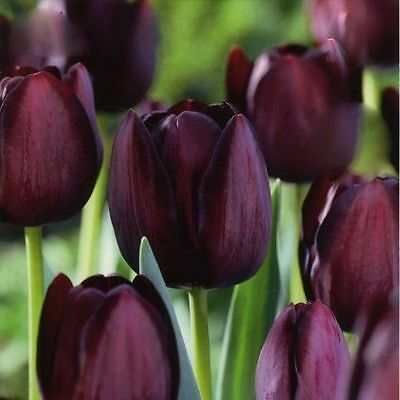 Pack 10 Tulip Bulbs 'Queen of Night' WPC Prins Quality Spring Bulbs
