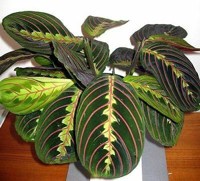 Maranta Leuconeura Fascinator Tricolour House Plant in a 12cm Pot