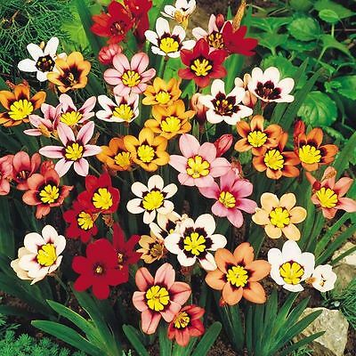 Pack 20 Bulbs Sparaxis 'Mixed' (Harlequin Flower) Top Quality W.C.Prins Bulbs
