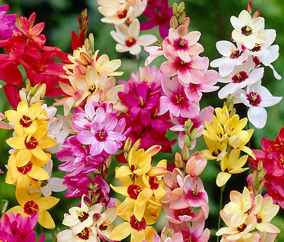 Ixia Mixed 20 Bulbs Early Summer Flowering Ready To Dispatch Free P&p
