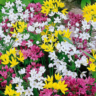 Allium Dwarf Mixed 25/50 Bulbs Early Summer Flowering Ready To Dispatch Free P&p