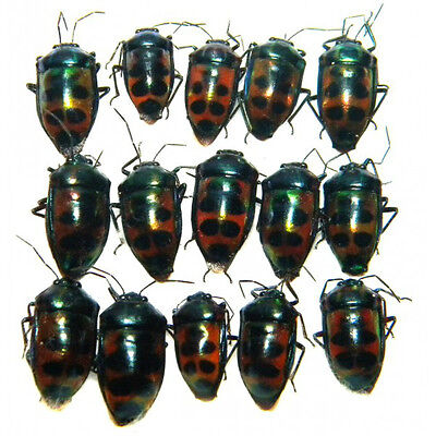Taxidermy - real papered insects : Hemiptera : Calliphara ssp set 15 pcs