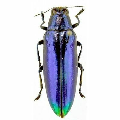 Taxidermy - real papered insects unmounted : Chrysochroa fulminans BLUE