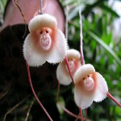10PCS Beautiful Orchid Seeds Plant Flower Garden Rare Monkey Face New Arrival