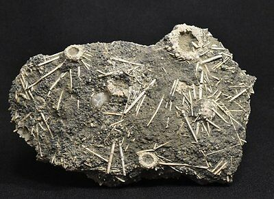 UNIQUE FOSSIL !!!!! Sea urchins with spines !!!!! France, Jurassic