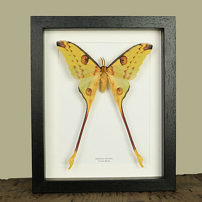 Comet Moth in Mounted Frame (Argema mittrei)  insect taxidermy