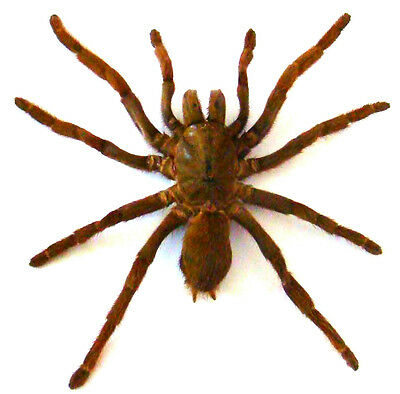 Taxidermy - real papered insects : Arachnidae : Eurypelma spinicrus
