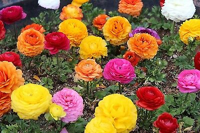 Ranunculus Mixed 20 Crowns Early Summer Flowering Ready To Dispatch Free P&p