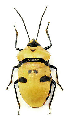 Taxidermy - real papered insects : Hemiptera : Eucorysses grandis set 5