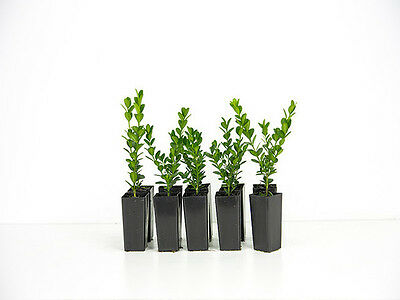 Buxus microphylla japonica. Box of 200 plants : Japanese Box hedge  garden