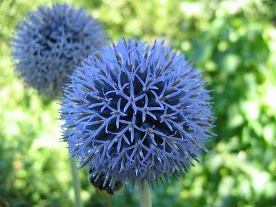 Echinops Ritro 20 Seeds- A touch of Fantasy, Fragrant