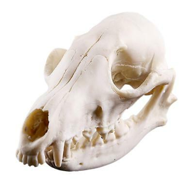 Realistic Fox Skull Replica Skeleton Model Collectibles Halloween Decor Prop