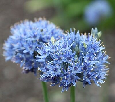 Allium Caeruleum 20 Bulbs Early Summer Flowers Ready To Dispatch Free P&p