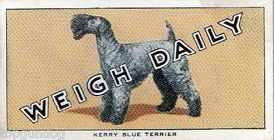 Kerry Blue Terrier Dog Weigh Daily Trade Card 1953
