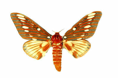 Taxidermy - real papered insects : Saturnidae : Citheronia azteca !!