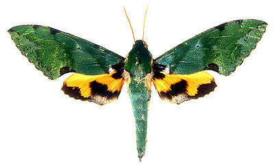 Taxidermy - real papered insects : Sphingidae : Euchloron megeara