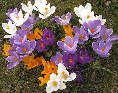 Crocus Mixed 100 Bulbs Spring Flowering Ready To Dispatch Free P&p
