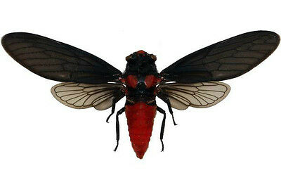 Taxidermy - real papered insects : Cicadidae : Heuchys sanguinea SPREAD