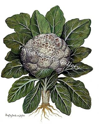 Botanical Illustration of Cauliflower - Historic Art Print