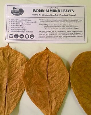 50 Premium Indian Almond Catappa Leaves, 100% Naturally Aged & Sun Dried