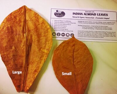50 Large size Indian Almond / Catappa Premium Leaves, for Betta Shrimp Discus