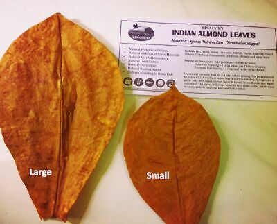 50 Premium Large Almond Catappa Leaves from INDIA, 100% Naturally Aged & Sun Dry