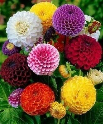 Dahlia Pompon Mix Seeds -Brightest Colours, Outstanding Focal Point