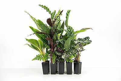 Indoor Plants - Mixed Pack x 16 Plants Green foliage | House Plants | Green Wall