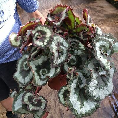 Begonia rex 'Princess of Hannover' House Plant in a 17cm Pot