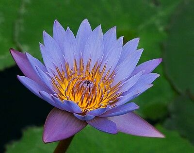 Blue Water Lily Seeds- Eye Catching
