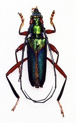 Taxidermy - real papered insects : Cerambycidae : Philematim festivum