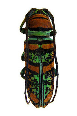 Taxidermy - real papered insects : Cerambycidae : Anatragus pulchellus