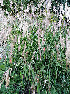 Miscanthus nepalensis - 1 Ornamental Grass Plant in 9cm pot