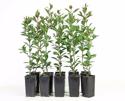 Syzygium Baby Boomer - 10 Plants Lilly Pilly Hedge 1.5 metres high Screen Native