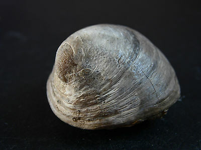 TOP-EXCELLENT VERY RARE GASTROPOD. Velates. EOCEN. SPAIN. NºB4