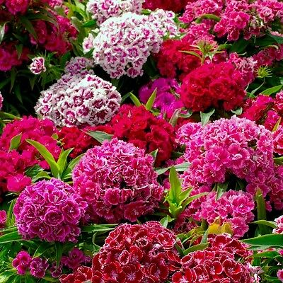 Pack Flower Seed Sweet William Crown Double Mixed King's Quality Seeds