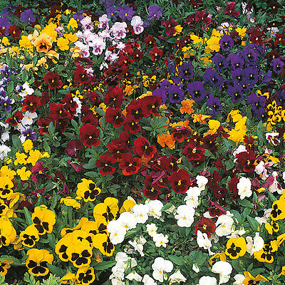 Pack Flower Seeds Pansy Winter Flowering Mixed Kings Quality Seed