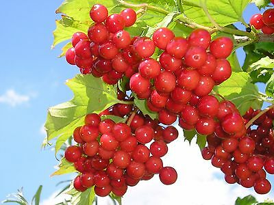 Viburnum (Kalina common) bush seeds from Ukraine
