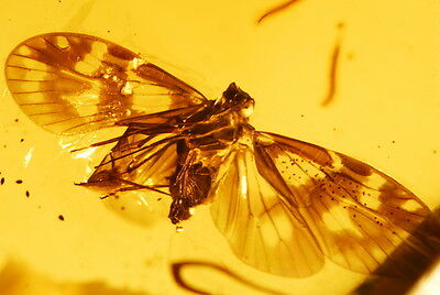 Incredible flying Leafhopper spotted wings in clear Dominican Amber gemstone