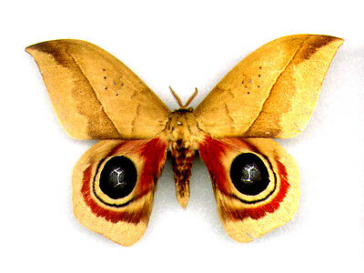 Taxidermy - real papered insects : Saturnidae : Automeris metzli