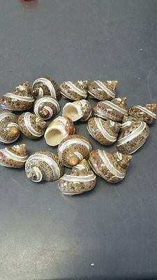 Banded Tapestry Turbo Seashell (Small) (Light Colors) (Philippines) (2)