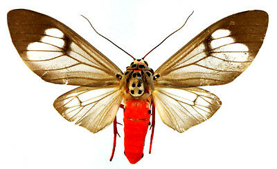 Taxidermy - real papered insects : Arctidae : Amerila astreus